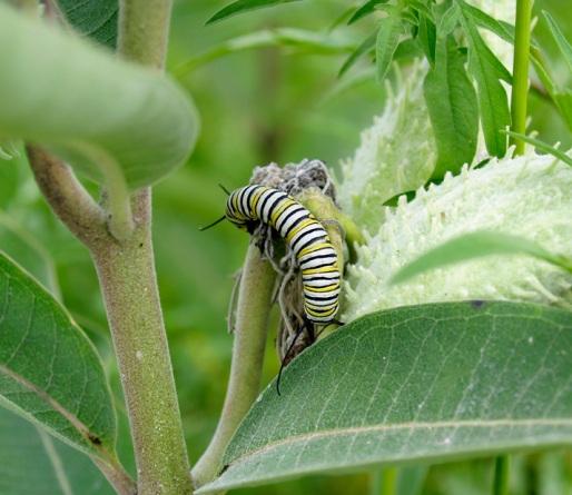monarch-danaus-plexippus-blog.jpg