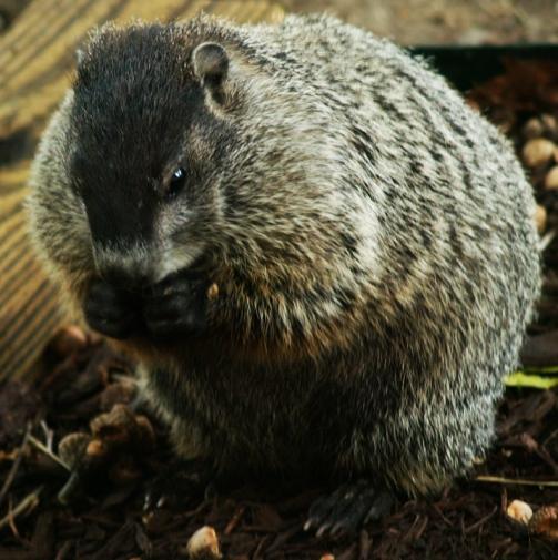wood-chuck-land-beaver-groung-hog-marmota-monax.jpg